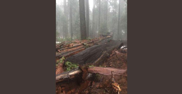 California rains fell historic Giant Sequoia redwood tree