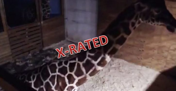 YouTube pulls live-cam giraffe birth due to complaints of nudity?