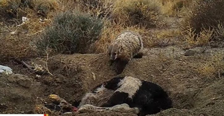 Whoa: Utah badger goes prepper, buries huge cow carcass for food supply