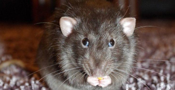 As rats overrun major cities, California Dems want to ban rat poison