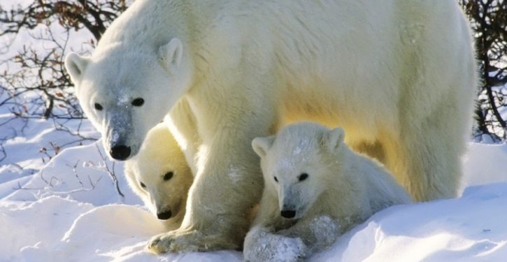 WaPo warns that polar bears 'hurt by climate change' could develop a taste for human flesh