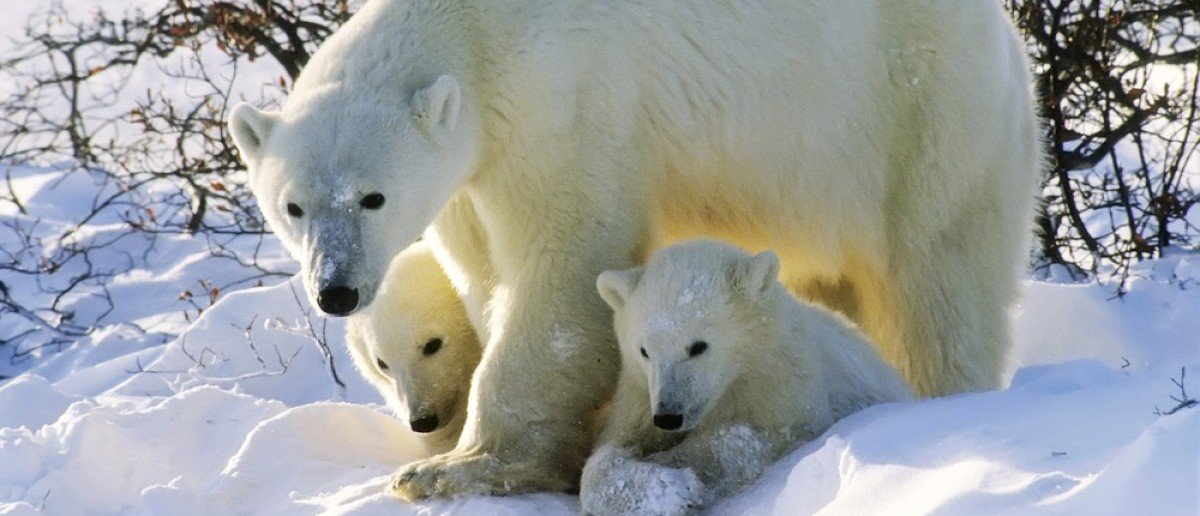 Polar bears prosper and proliferate