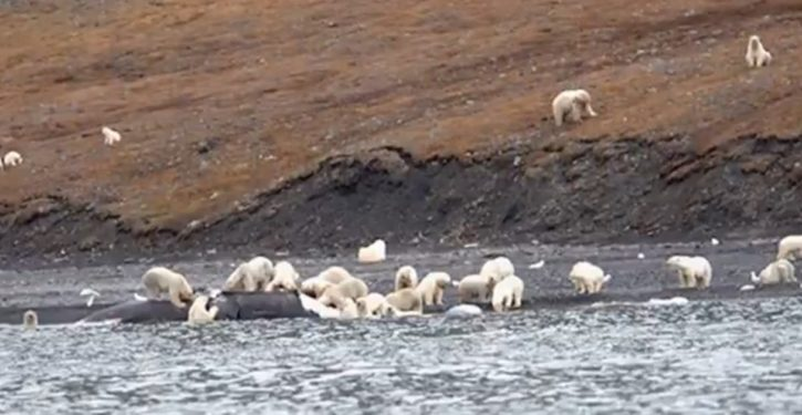 Siberia: Polar bears have residents huddling indoors, local walruses falling off cliffs to their death