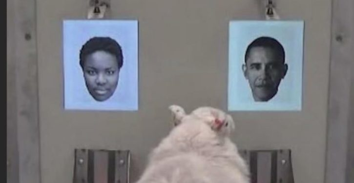 Sheep can recognize Barack Obama's face, new study shows