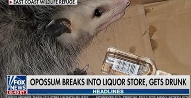 Florida opossum breaks into liquor store, samples the stock