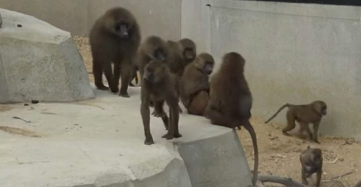 Australia: Baboon flees research facility just before scheduled vasectomy