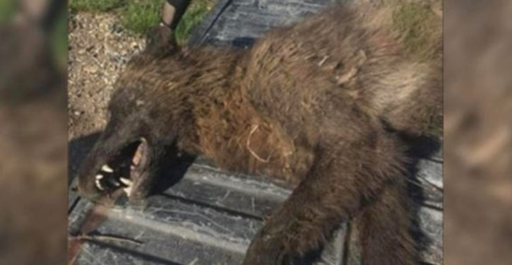 DNA confirms identity of 'wolf-like' creature shot in Montana