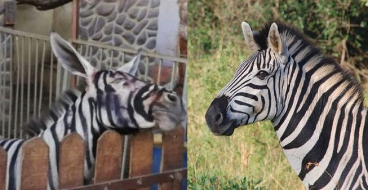 Egypt zoo accused of painting donkey to look like a zebra