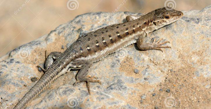 The little lizard threatening to derail the Trump agenda