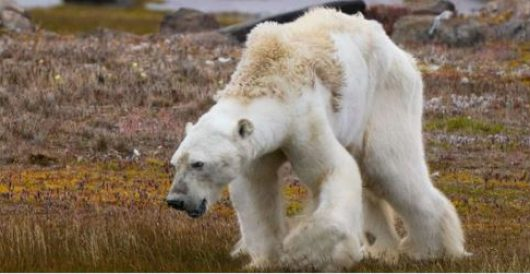 Photographer admits viral video of polar bear dying from climate change was 'fake news' by Rusty Weiss