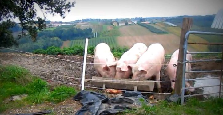 Woman 'eaten alive' by pigs after collapsing