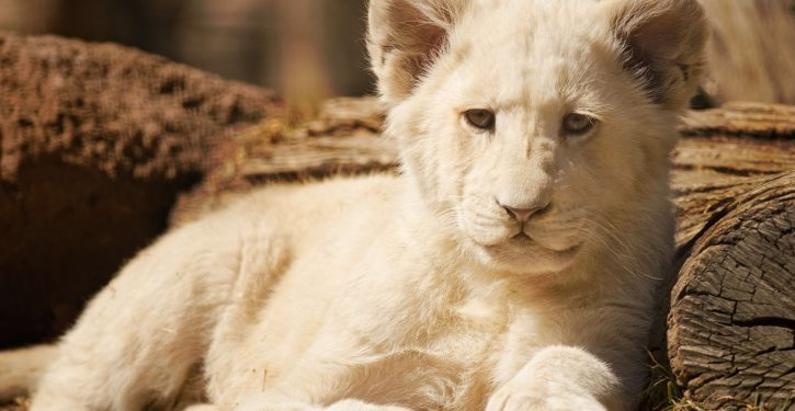 Fury over rare white lion being auctioned off 'to be shot by trophy hunters'