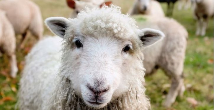PETA urges English village of Wool to change its name, which promotes 'cruelty to sheep'