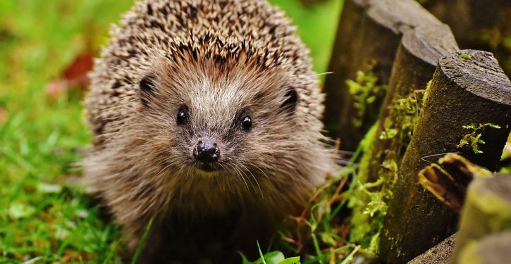 Stop snuggling hedgehogs, CDC urges amid salmonella outbreak