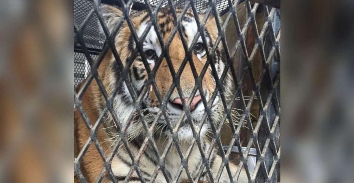 Pot aficionado seeks quiet smoke in abandoned house; finds tiger