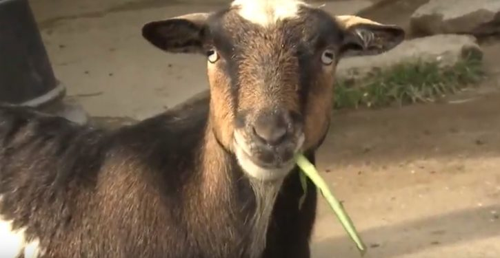 Vermont: Goat beats out dogs, cats, gerbil to become town mayor