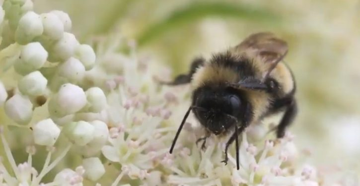 Green land grab for wild bee could apparently hit unannounced in 13 states