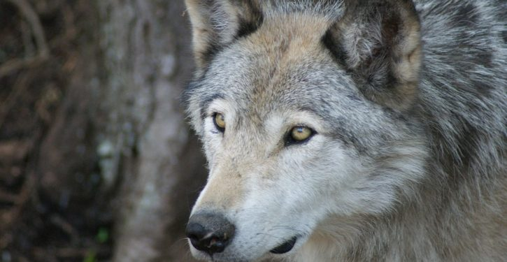 Metaphor for COVID-fear selfishness? Urban Colorado unleashes wolves on ranchers, farmers