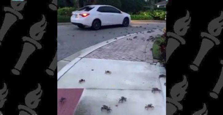 VIDEO: Crabnado — crabs invade Florida neighborhood
