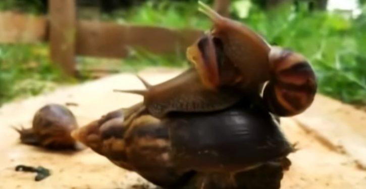 Cuba battles infestation of giant snails