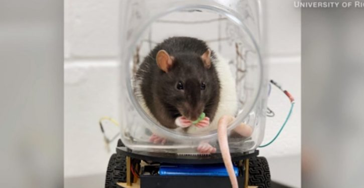 For the science: Lab rats bribed with Froot Loops to drive tiny cars