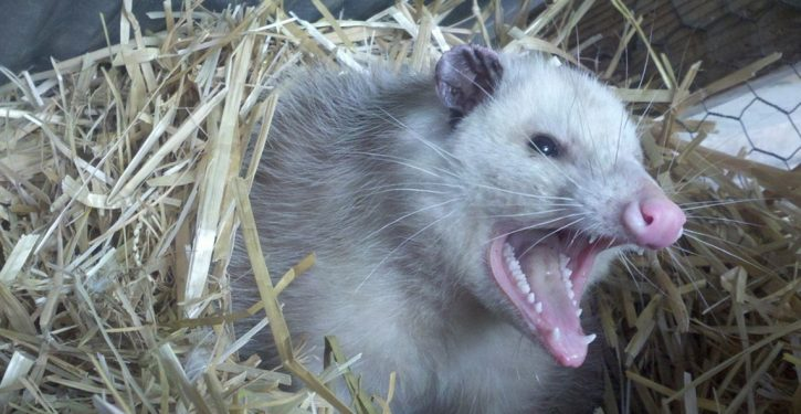 Wisconsin: Opossum urged to 'repent' by zealous motorist who had been 'driving erratically'