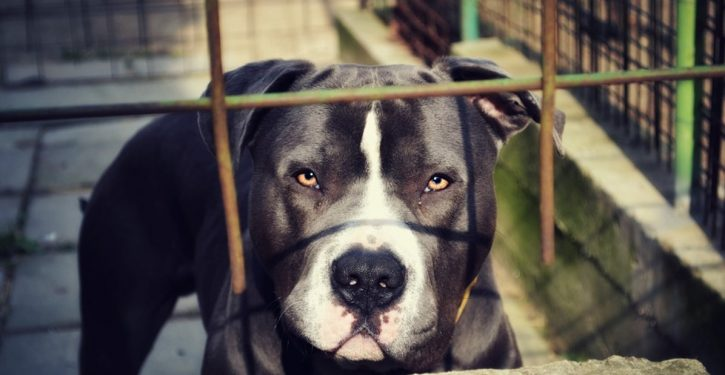 Denver voters overwhelmingly pass ballot measure to repeal pit bull ban