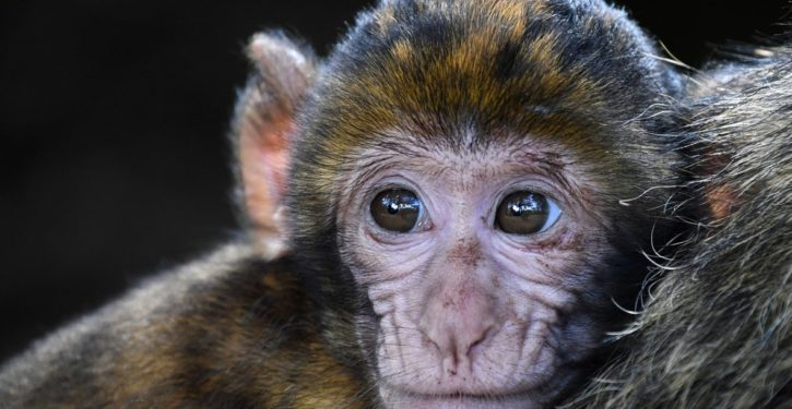 Scientists splice human genes into monkey brains to make them bigger, smarter