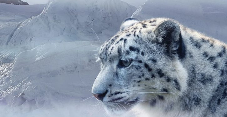 Snow leopards test positive for COVID, making it the sixth confirmed animal species