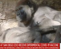 Great apes at San Diego Zoo get COVID-19 vaccination