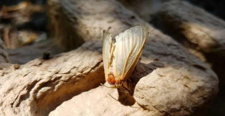 Gypsy moth gets new name to avoid hurting gysies' feelings