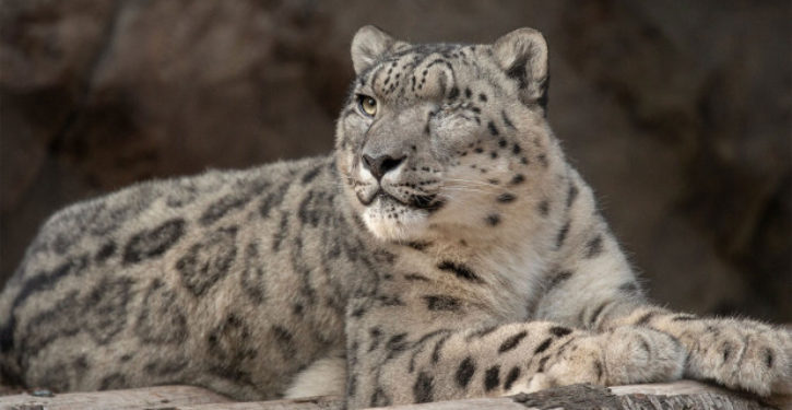 Snow leopard at San Diego Zoo tests positive for COVID-19