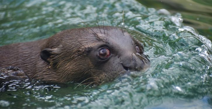 'Unusual behaviors': Otters in Anchorage attacking people, dogs